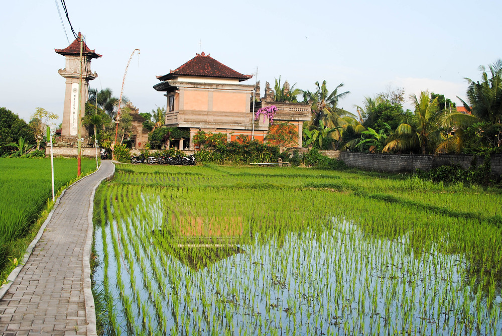 rice field ubud