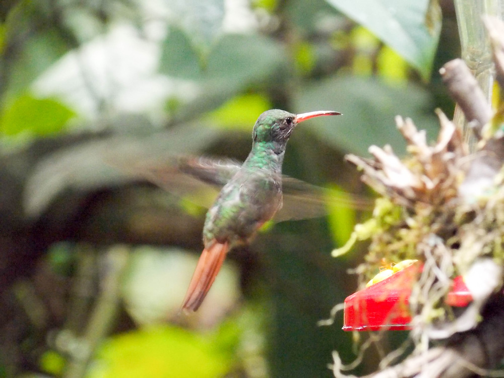 hummingbird mindo ecuador