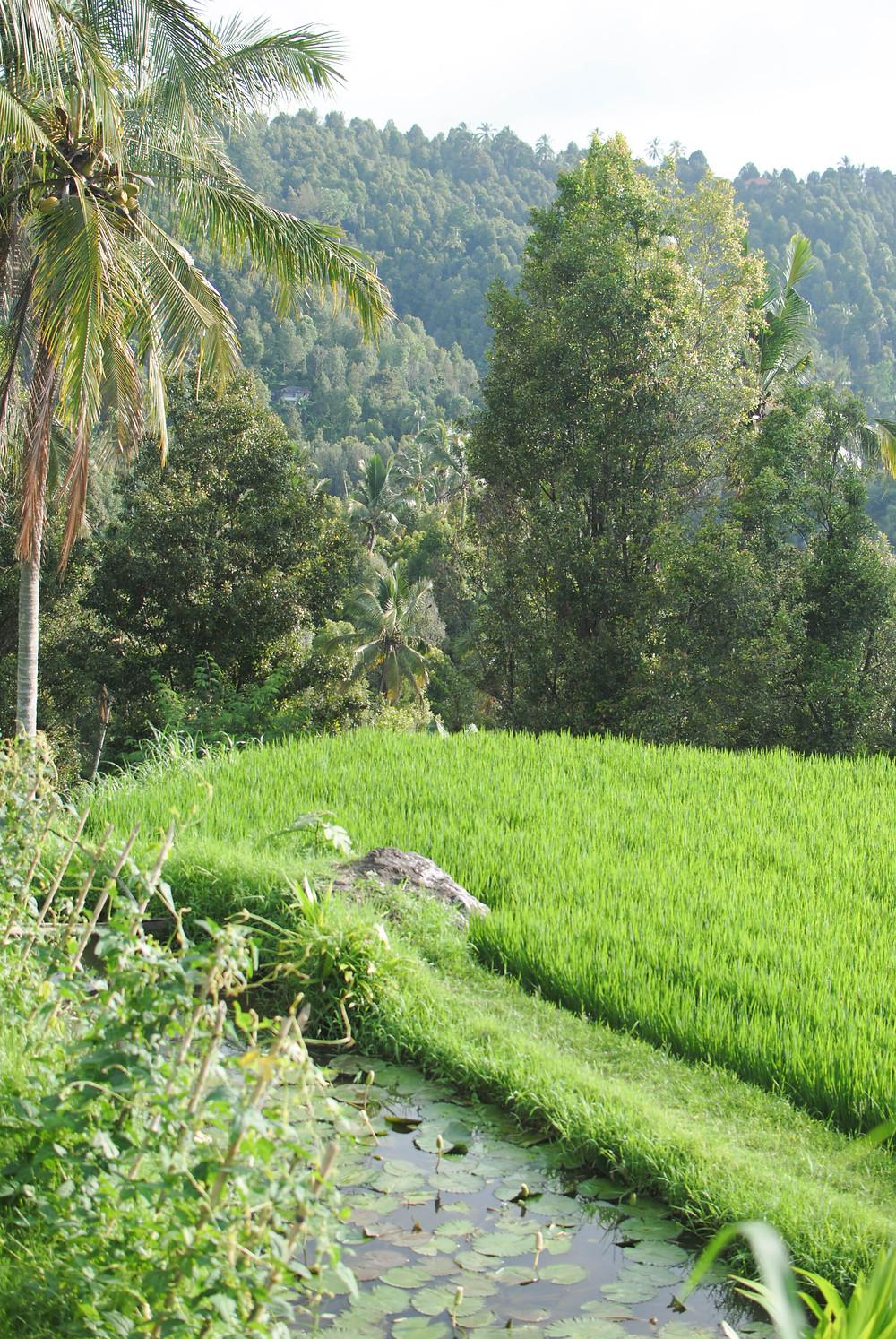 rice paddy munduk