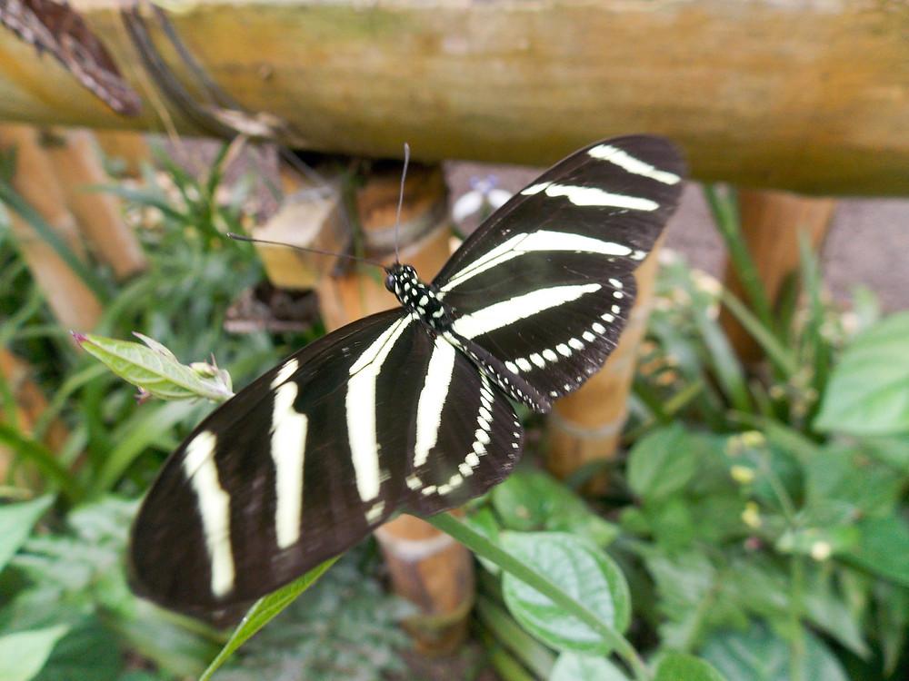 butterfly mindo ecuador