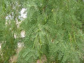 Prosopis_glandulosa_image53_honey mesqui