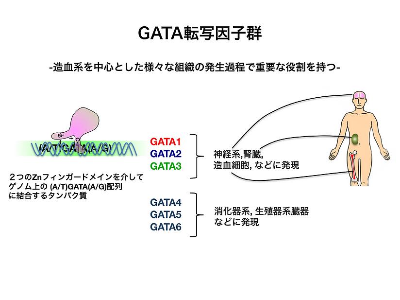GATA転写因子群.png