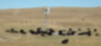 cattle-01.png