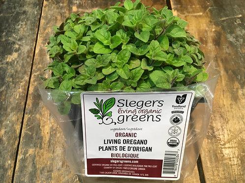 Micro Greens-Oregano (Slegers)