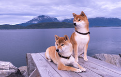 Toshi and Missy in Norway 2020