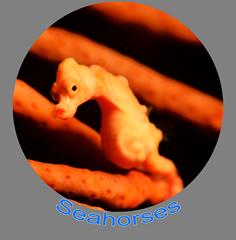 Seahorse Icon.png