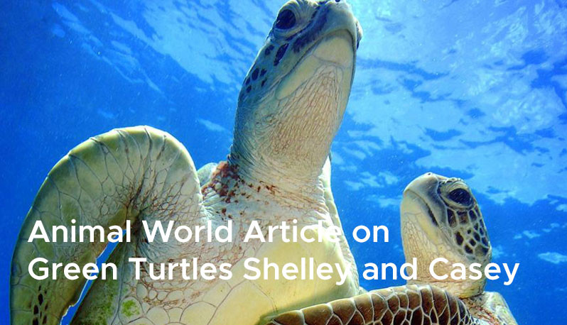 Animal World Article on  Green Turtles Shelley and Casey 