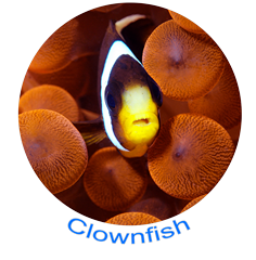 Clownfish Icon.png