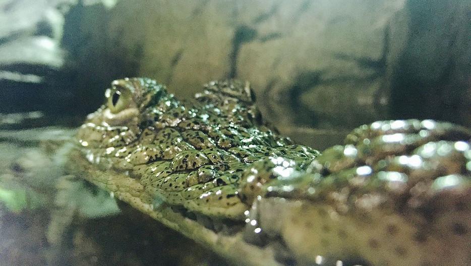 nile_crocodile_jpg