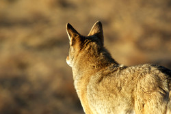 Coyote From Behind