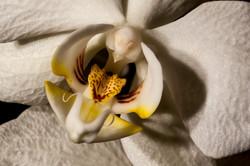 Macro Orchid 1