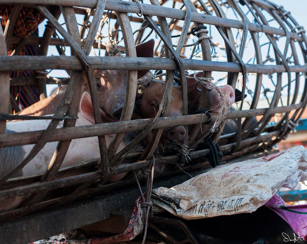 Pigs, Siem Reap, Cambodia