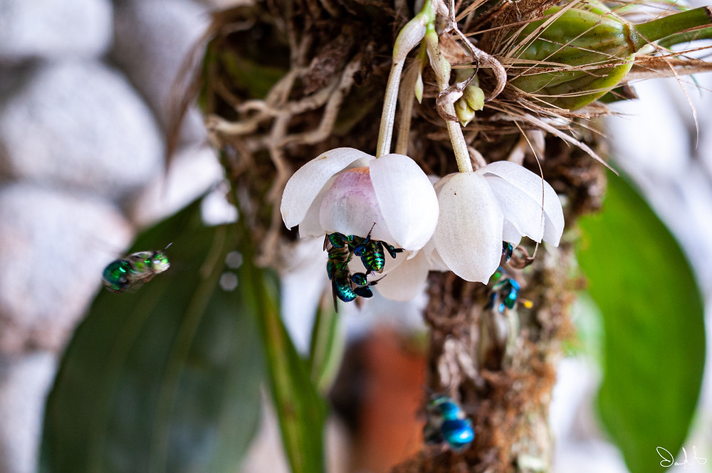 Green-blue bees pollinating an orchid in El Valle, Panama