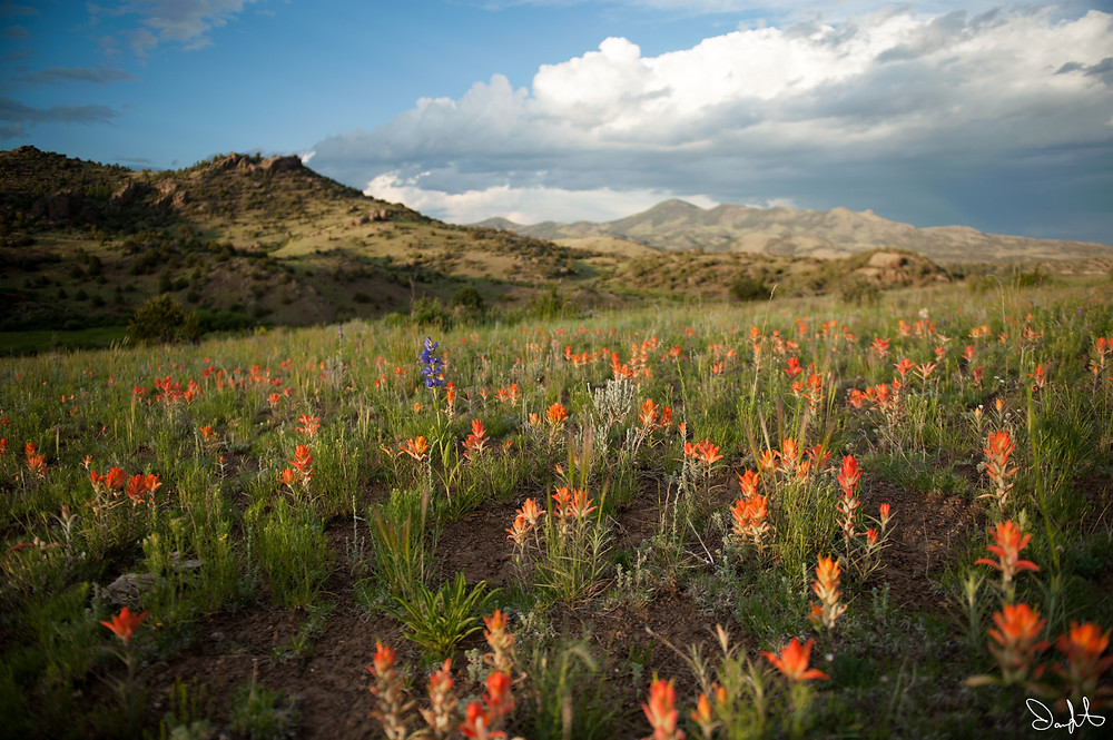 Field of Indian Paintbrush outside South Fork, Colorado
