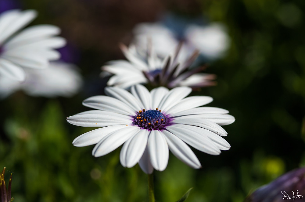 African daisy at the Denver Botanic Garden