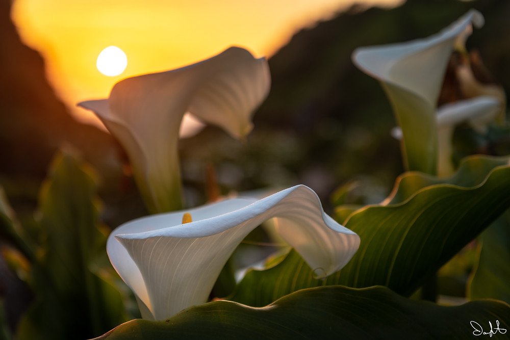Calla lilies and setting sun in Big Sur, California