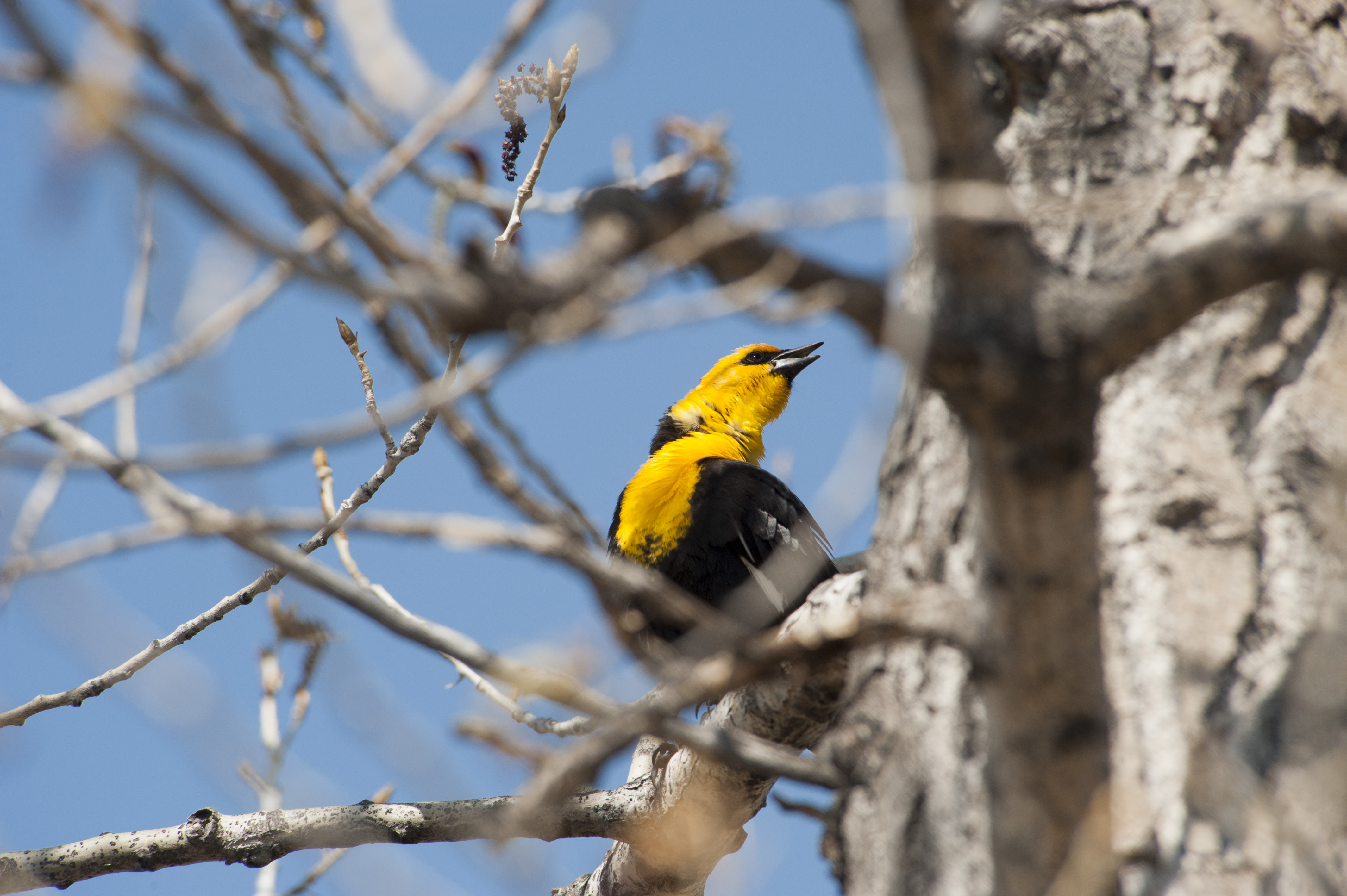Yellow Headed Blackbird 2