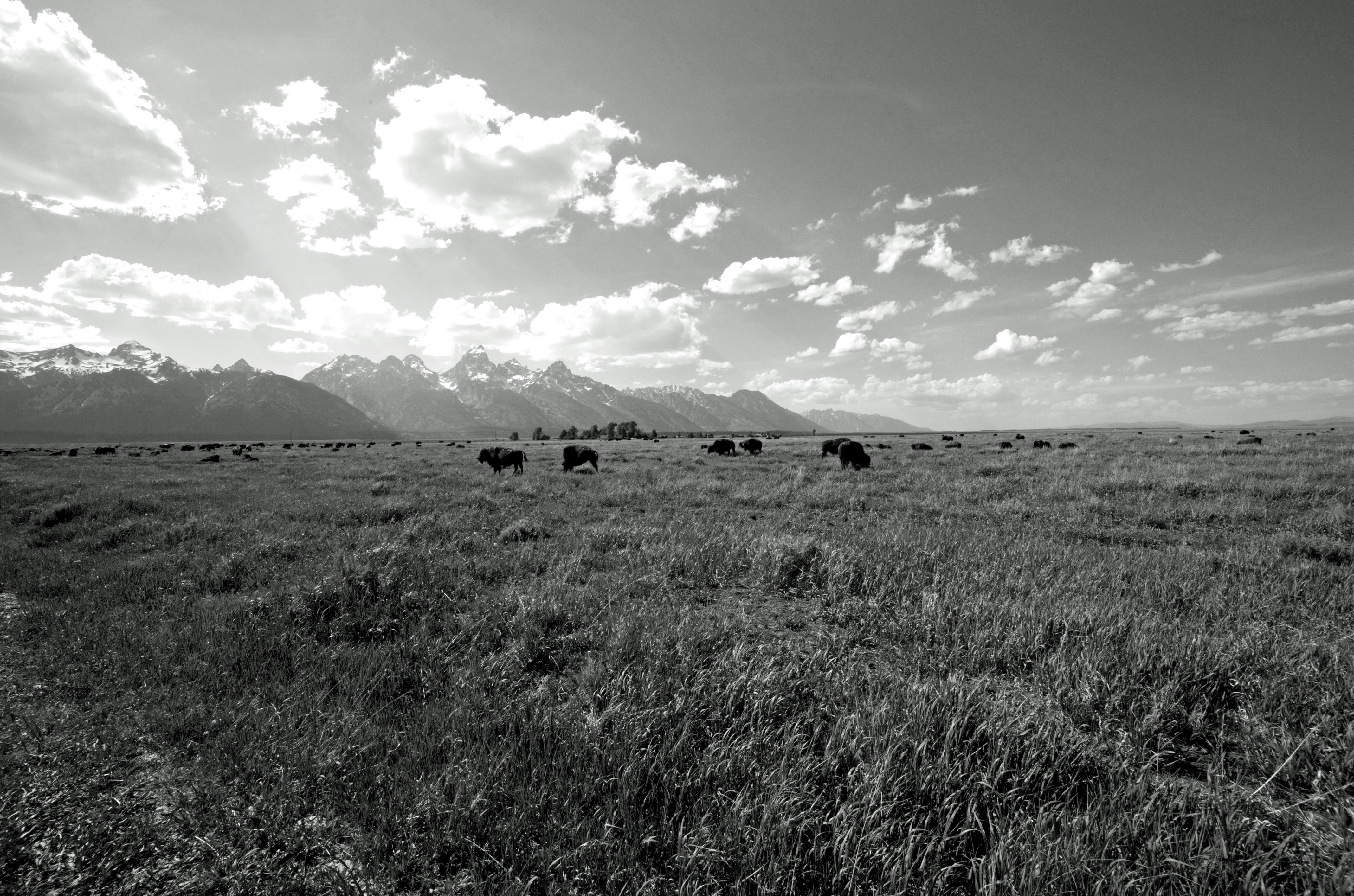 Grand Teton with Bison