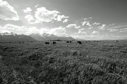 Grand Teton with Bison