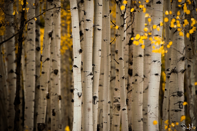 Into the Aspen Grove