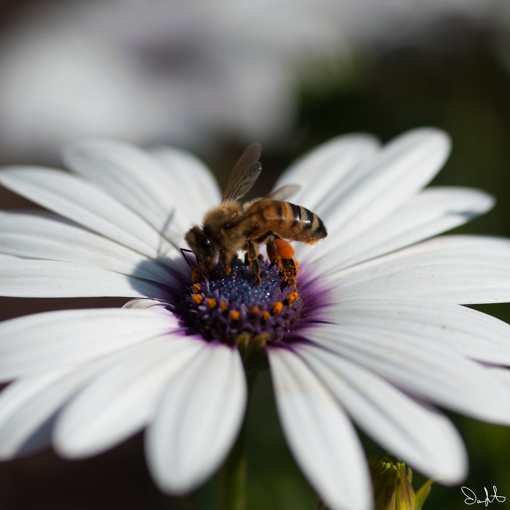 African daisy and bee at the Denver Botanic Garden