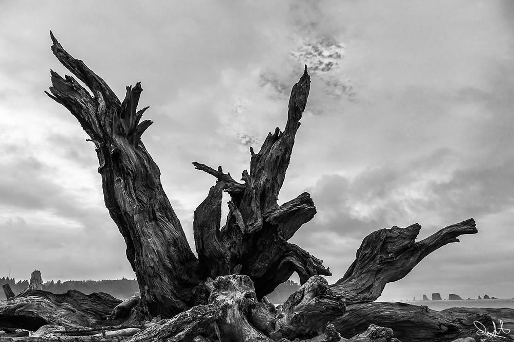 Tree at La Push, Washington