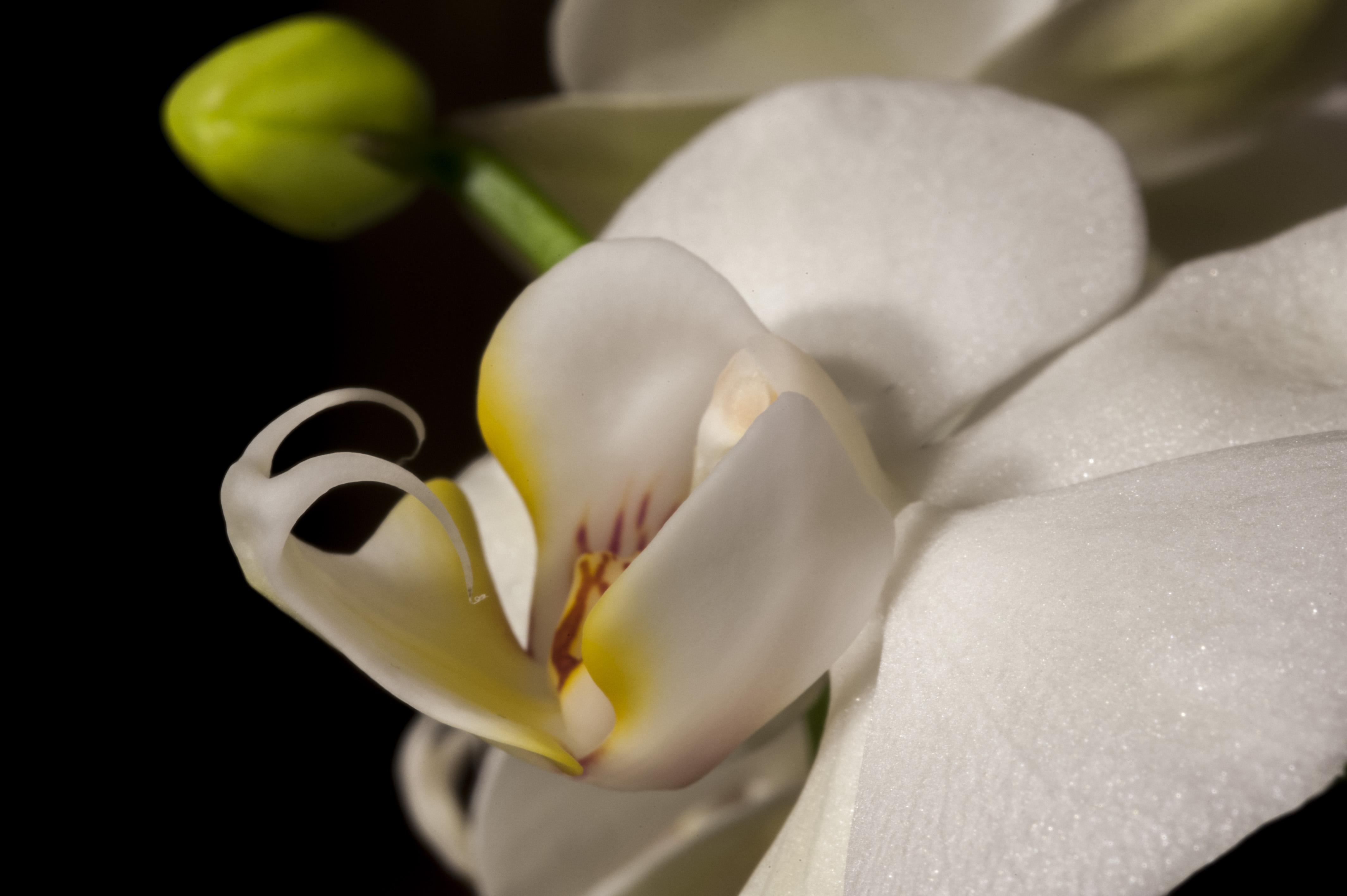 Macro Orchid 2