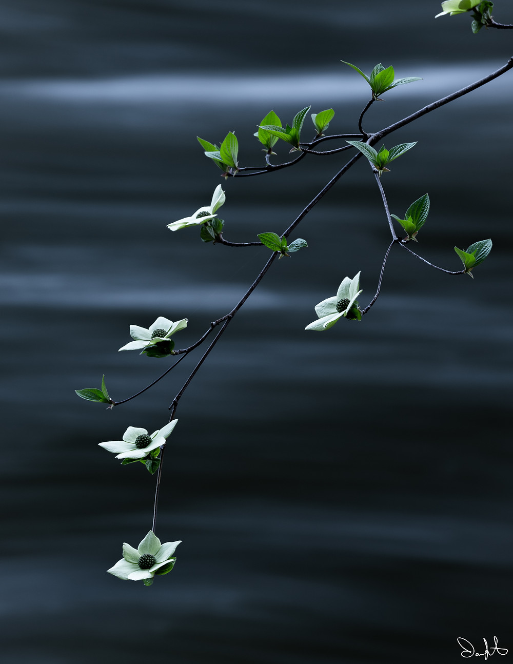A dogwood bloom over the Merced River