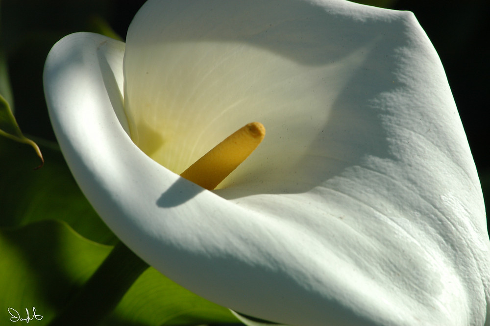 Calla Lily taken outside of Monterey