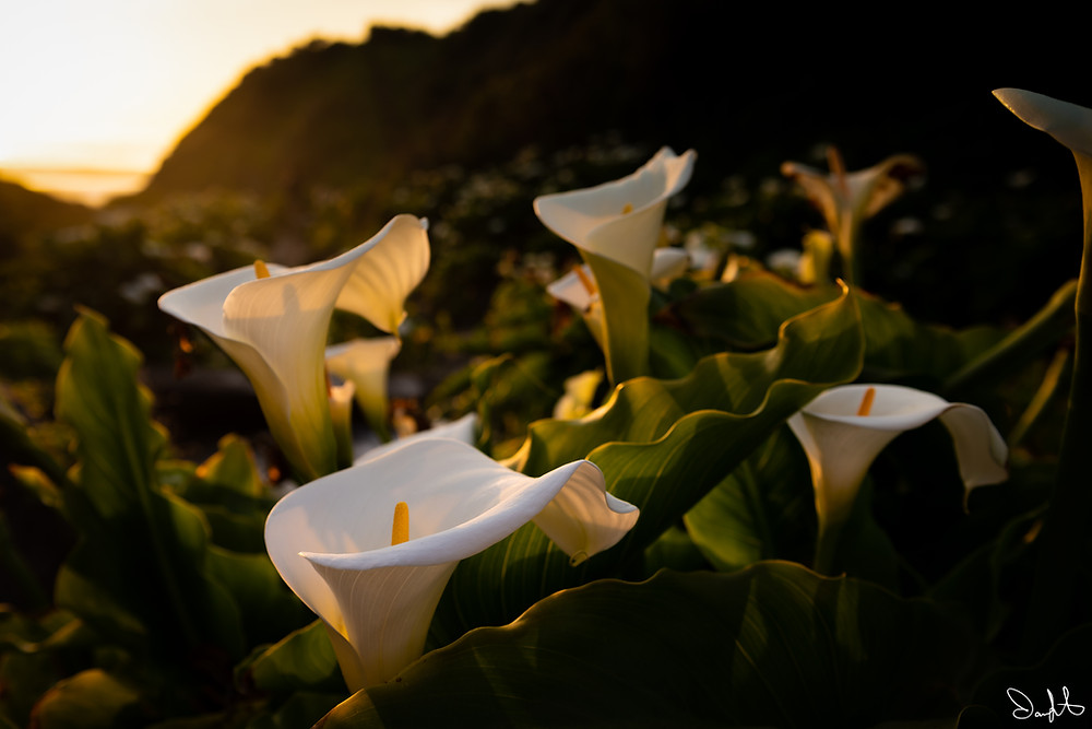 Calla lilies in Big Sur, California