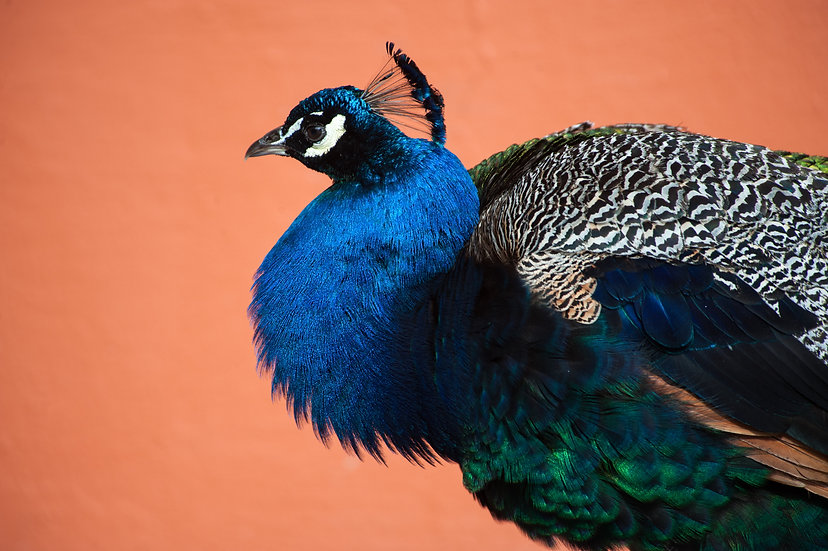 Peacock Profile Mini