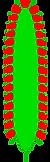 Kolben_(inflorescence).png