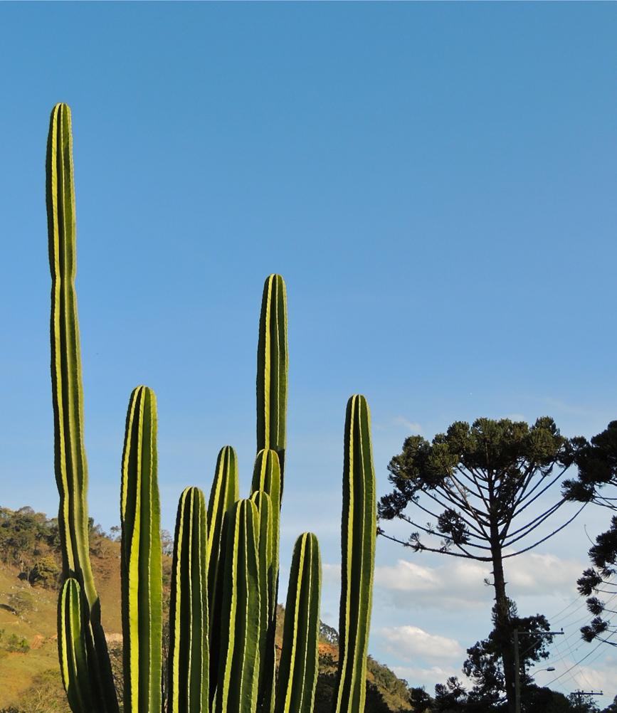 cactusearaucaria.JPG