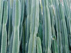 Cactus Gonçalves.JPG