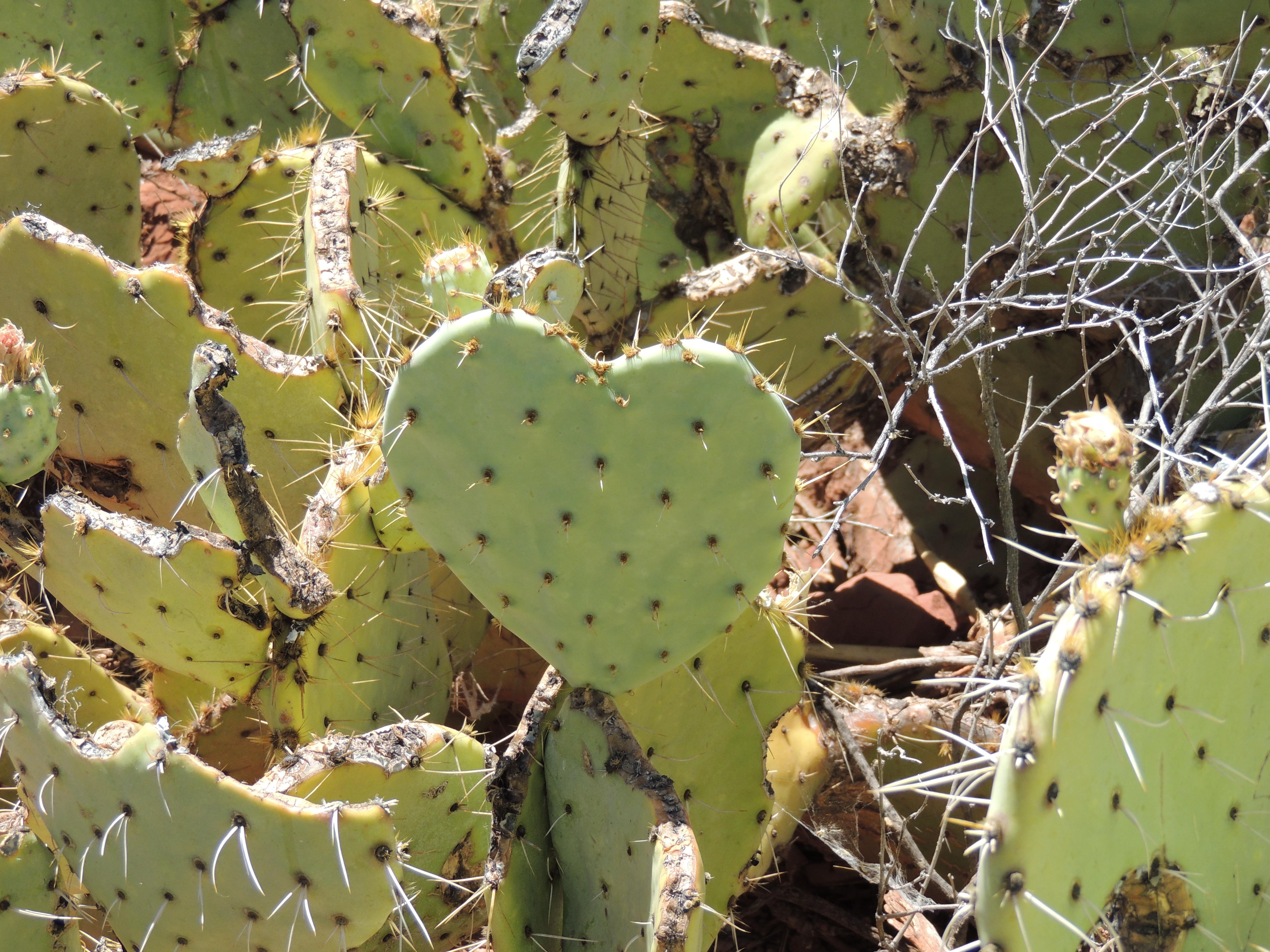 Cactus Coração.JPG