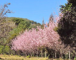cerejeiras1.JPG