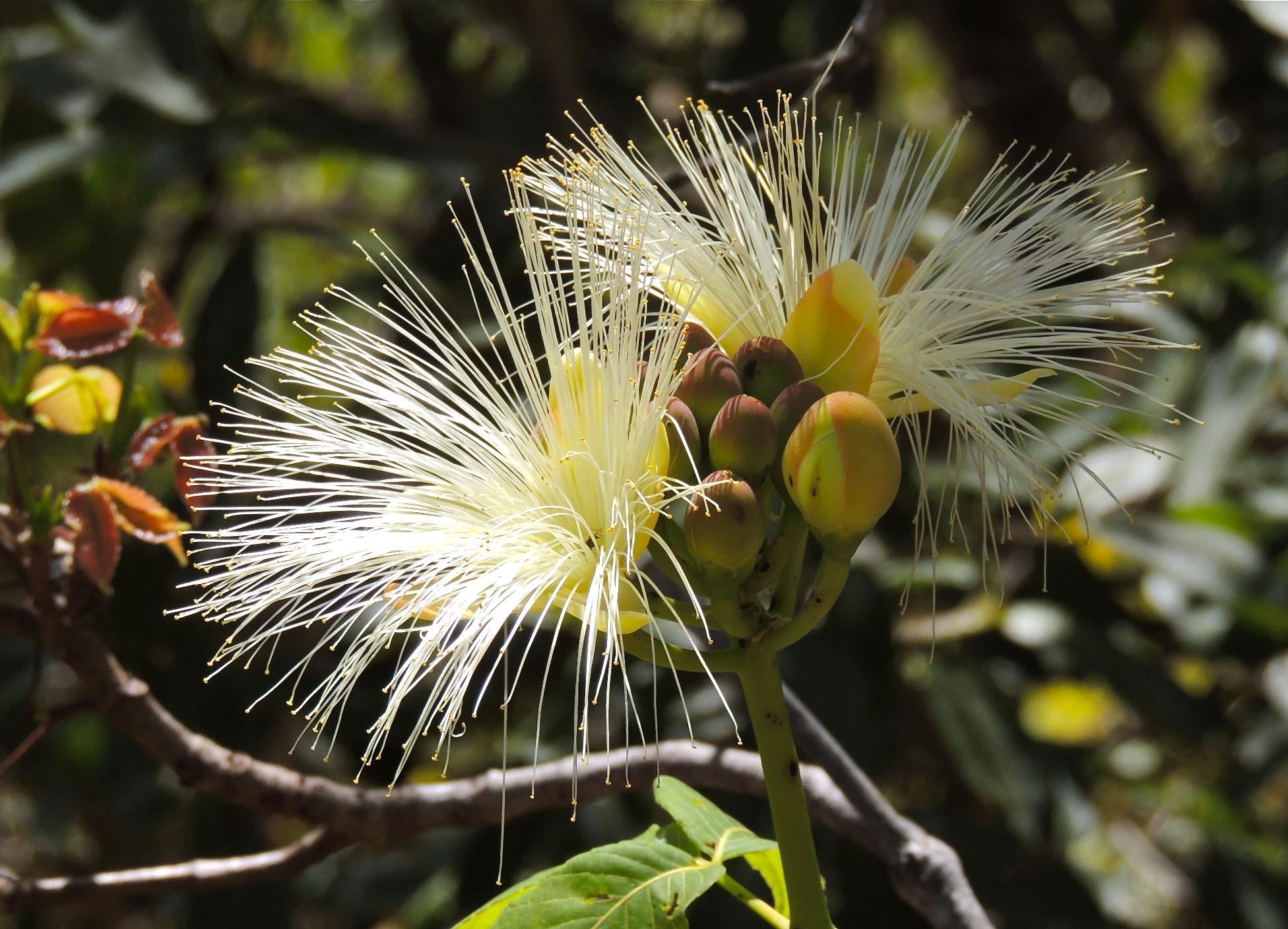 Flor do Pequi Cerrado.JPG