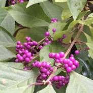 Beautyberry (Cathy)