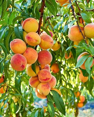 Peach Trees.jpeg