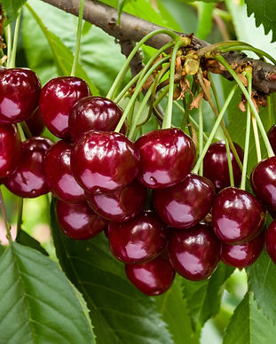 Tree of Cherries.jpeg