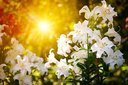 Lillies of Cooper's Mountain