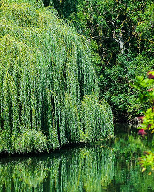 Weeping Willow.jpeg