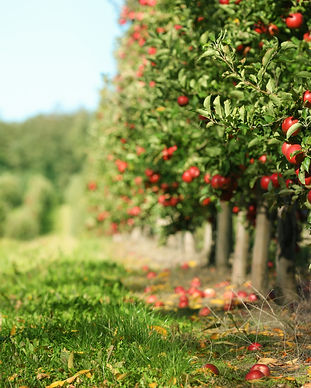 Apple Orchard.jpeg