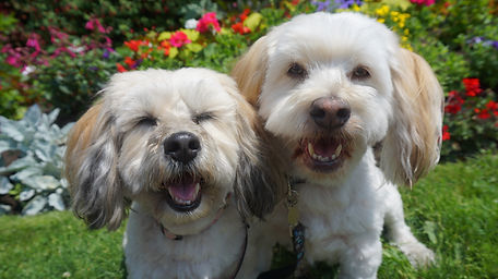 havanese dogs at a wedding