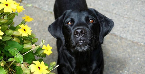 black lab dog with flowers