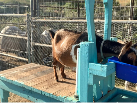 Hand Milking Goats
