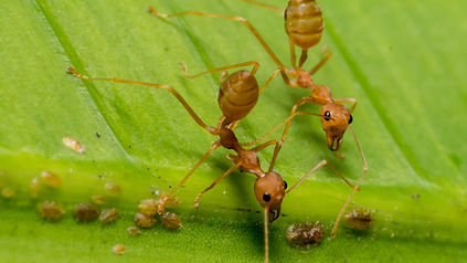 Fire Ants in Texas