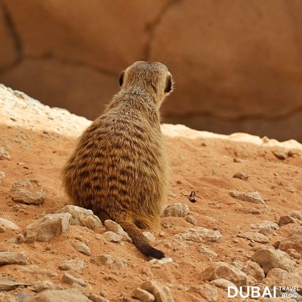 the meerkat in al ain
