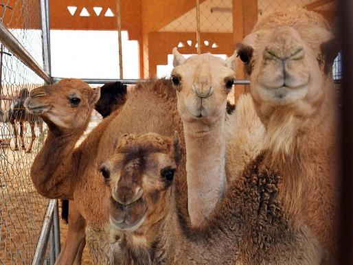 Lots of Camels at the Al Ain Camel Market!