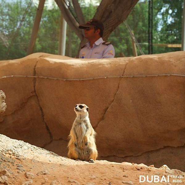 meerkat al ain zoo